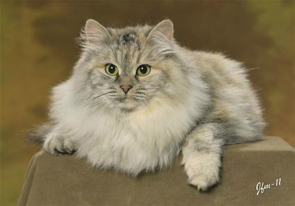 sibirisk katt uppfödare